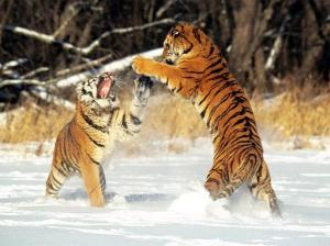Why? Because Tigers, that's why. Also, no good images for 'polemics.'